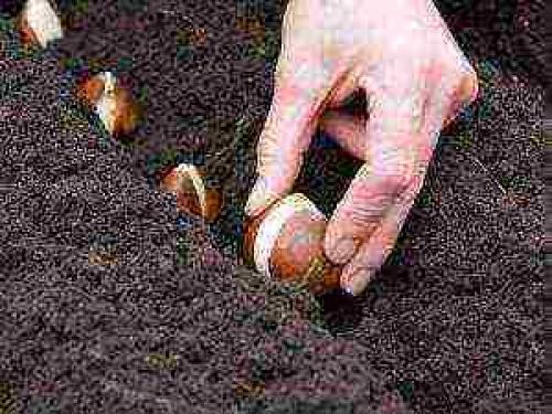 Как посадить тюльпаны в горшок дома. Как посадить тюльпаны в домашних условиях?