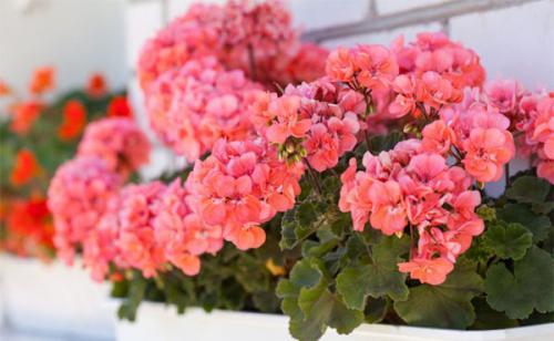 Цветы привлекающие мужчин в дом. Цветы, привлекающие деньги и благополучие