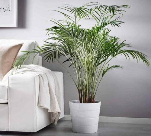 Пальмы комнатные. Как ухаживать за декоративным растением