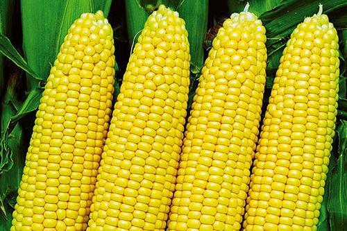 Как правильно варить кукурузу, чтобы она была мягкой и сочной